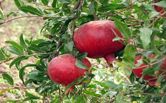 Pomegranate_AllPhotoIr_1506_2-M.JPG