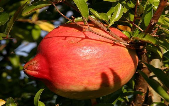 Pomegranate_AllPhotoIr_1506_6-M.JPG