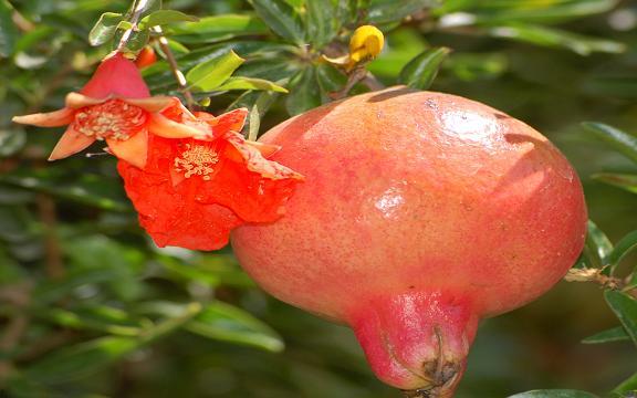 Pomegranate_AllPhotoIr_1506_7-M.JPG